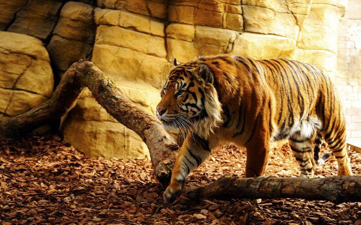 Tiger Hunter wallpaperia.com