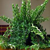 El suelo de tu Lápiz de labios no se puede secar nunca. Porque si bien tu planta tiene el aspecto de una planta crasa, no lo es, y por tanto el suelo debe estar siempre húmedo. Cuando la riegues, hazlo con agua tibia, si no se formarán puntos amarillos en la hoja