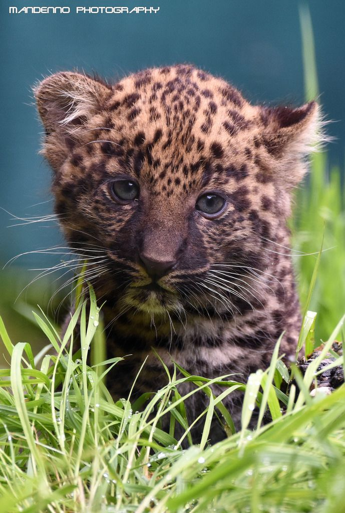 African leopard cub - Olmense Zoo by Mandenno Photography