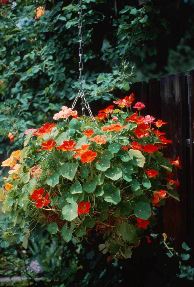 Nasturtiums Pretty And Edible Too Hanging Baskets