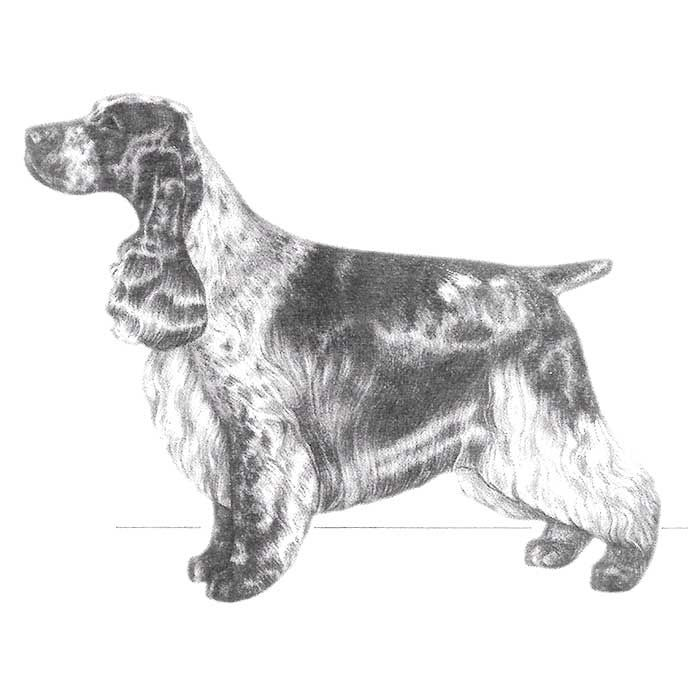 The English Cocker Spaniel Breed Standard Illustration.
