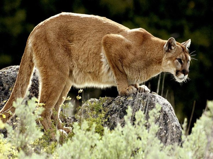 Mountain Lion (Photograph by Jim & Jamie Dutcher)  Mountain lions do not like to share their territory and are constantly on the lookout for invaders.