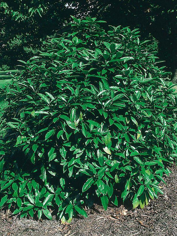 25 beautiful tall plants ideas on pinterest outdoor for Tall evergreen shrubs