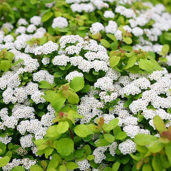 39 best shrubs images on Pinterest Shrubs Garden plants and