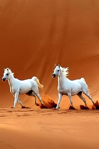 Two white arabian horses in the desert                                                                                                                                                     More