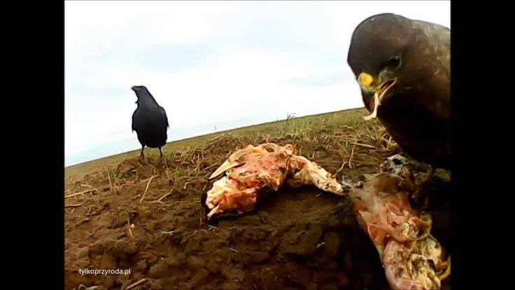 attack and struggle for meat   buzzard and raven