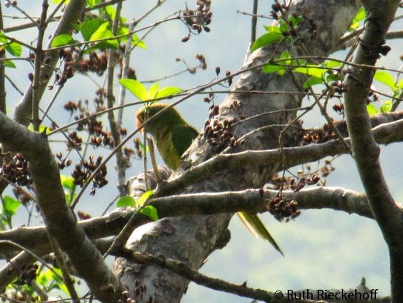 Parrot, El Imposible National Park, El Salvador