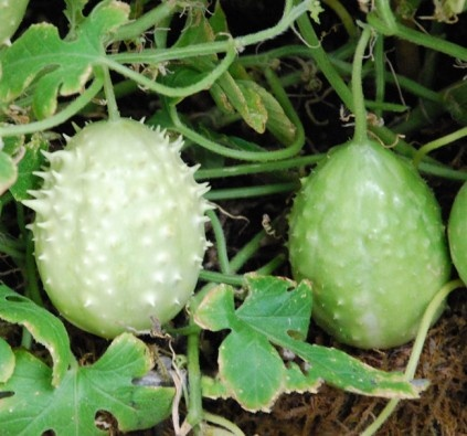 tropical fruit are cucumbers fruit