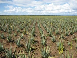 Aloe Vera Plant Feild