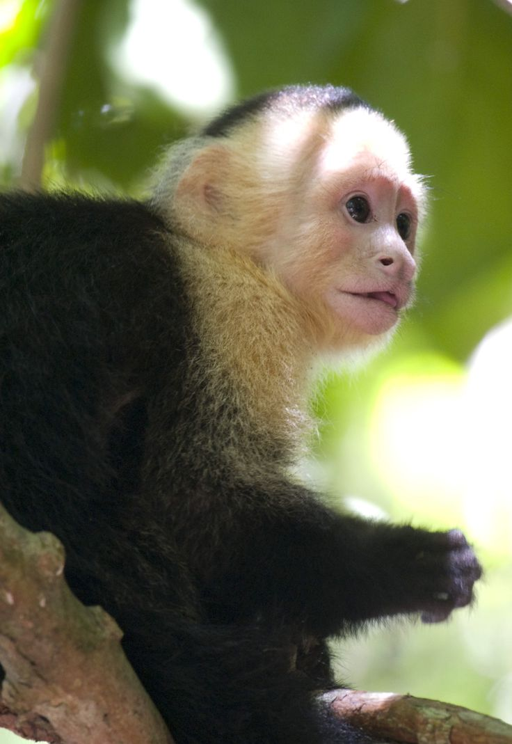 White Capuchins Monkey, Central America.
