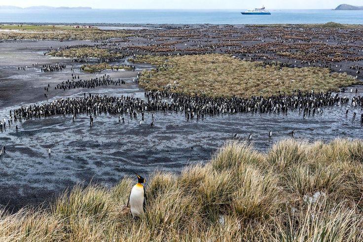Antarctica: penguin breeding season South Georgia Island, near Antarctic Penisula
