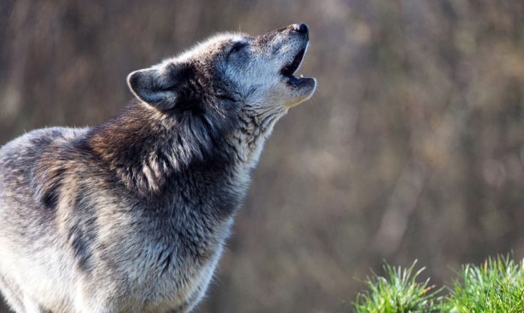 Majestic gray wolf pictures proved to be helpful in preventing the spread of chronic wasting disease and contagious neurological disease in deer.