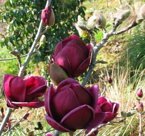 Znalezione obrazy dla zapytania magnolia genie