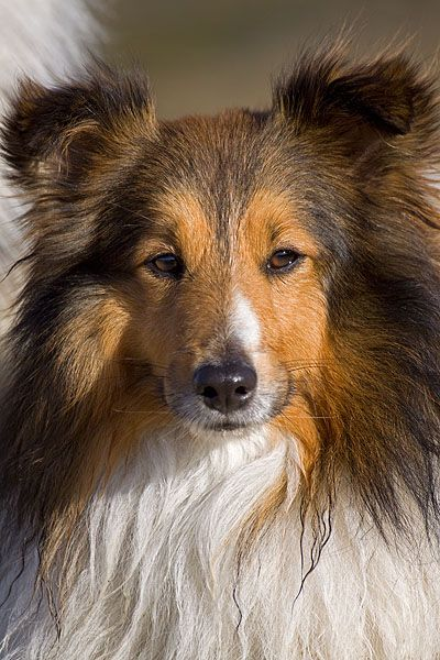 Sheltie, Portrait