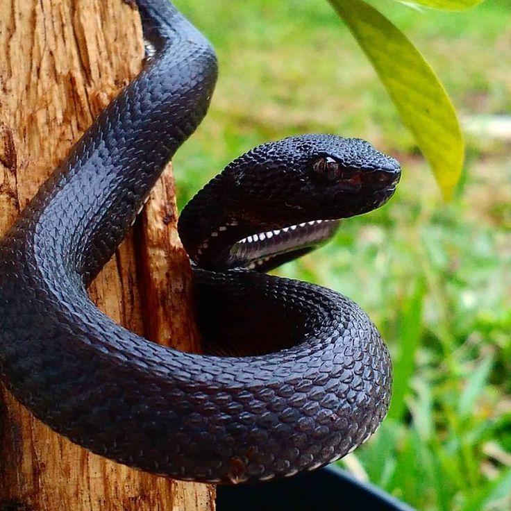Mangrove pit viper (Trimeresurus purpureomaculatus). Credit: Wilson Cihuy Aje > For more pics videos & articles visit: herpkeepers.com purpureomaculatus s s idae s snake reptile pets lovers etology s