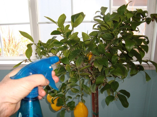 how to plant and keep an indoor lemon tree home hacks guest post from maria finn apartment ideasapartment