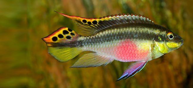 Kribensis Pelvicachromis pulcher