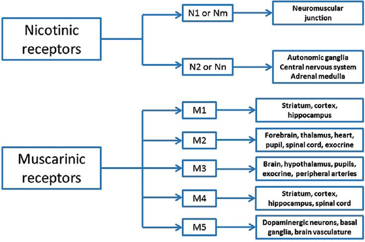 Figure 2: Subtypes of muscarinic and nicotinic receptors - the peripheral nicotinic receptors at the  neuromuscular junction are of the N1 or Nm type and the central nicotinic receptors are of the neuronal nicotinic acetylcholinesterase subtype (Nn or N2). All five (M1 to M5) muscarinic receptor subunits are present in the central nervous system. The peripheral muscarinic receptors are predominantly of the M3 subunit although the M2 subunit is also represented in the heart and exocrine…