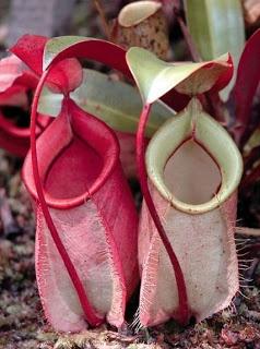Flora dan Fauna yang Langka dan Dilindungi di Indonesia | Halaman Bacaan Online. Balam Suntai (Palaquium walsurifolium)