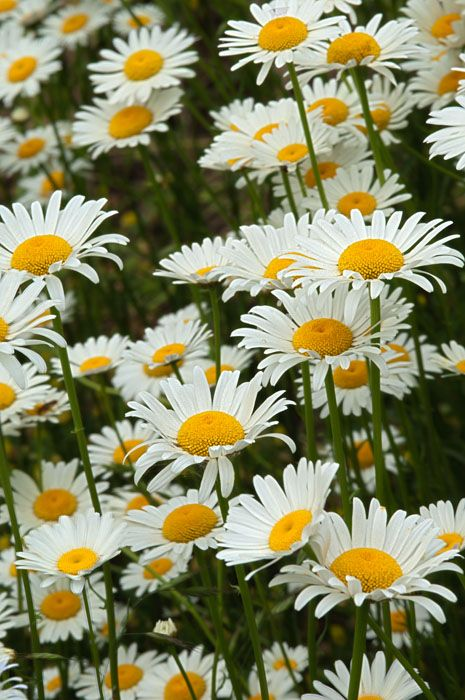 Oxeye Daisy Field, Arkansas