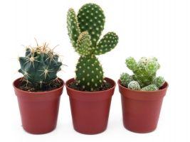 Cactussen en Vetplanten kopen in Lokeren!