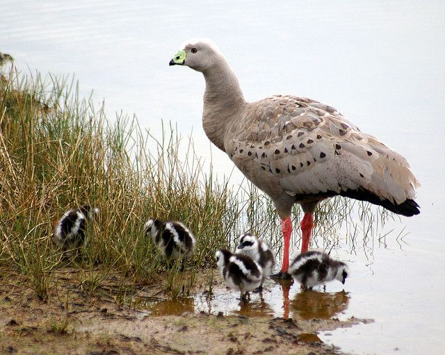 The Family - Cape Barren Geese [Cereopsis novaehollandiae]