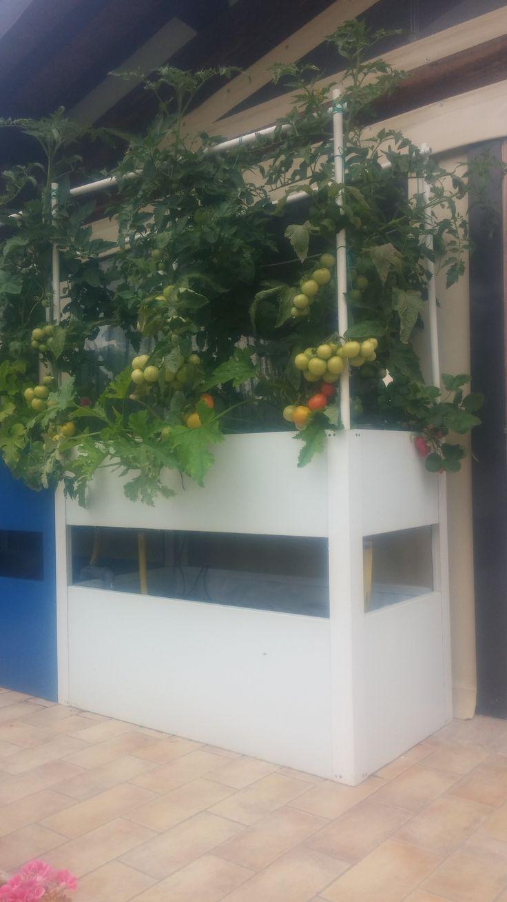 Acquaponica a casa, i pomodori