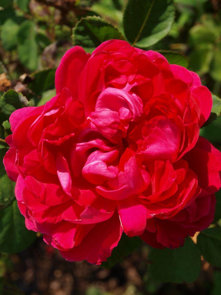 Purpurosa - Rose de Resht x A.MacKanzie