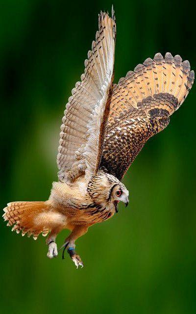 Tawny Owl - Gloucestershire (by WiltshireYan)