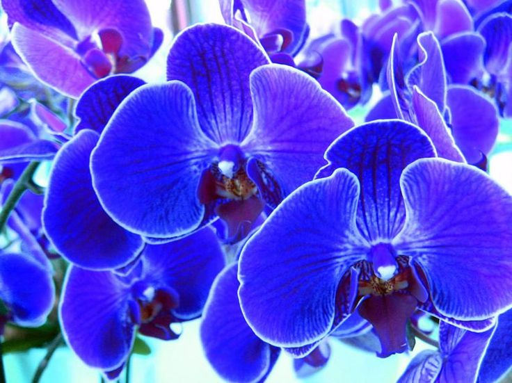 Cómo cultivar orquídeas azules - http://www.jardineriaon.com/como-cultivar-orquideas-azules.html