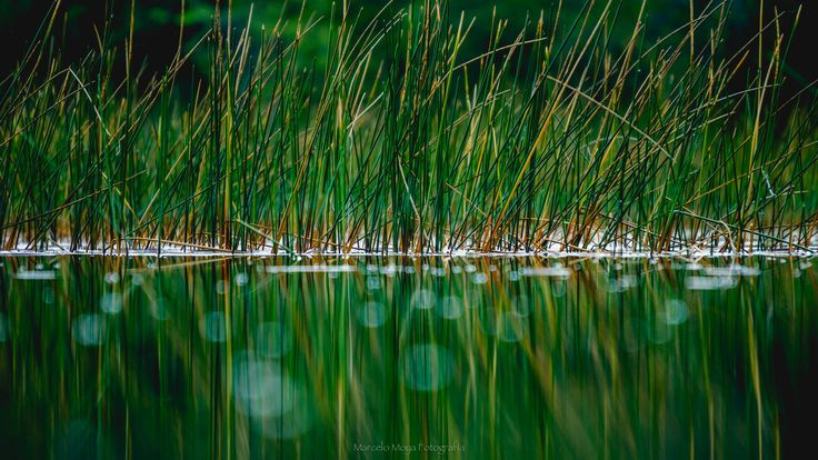 Green Cattail reflections - null