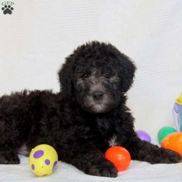 Benny F1b Mini Labradoodle Puppy For Sale In Pennsylvania