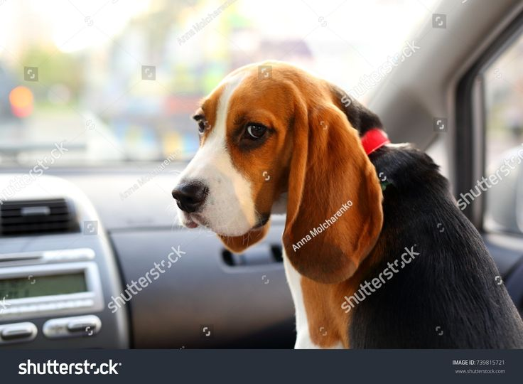 Young beagle look back askance, cute but sad muzzle of juvenile doggy, sitting on front seat of small car. Pensive black eyes and long ears