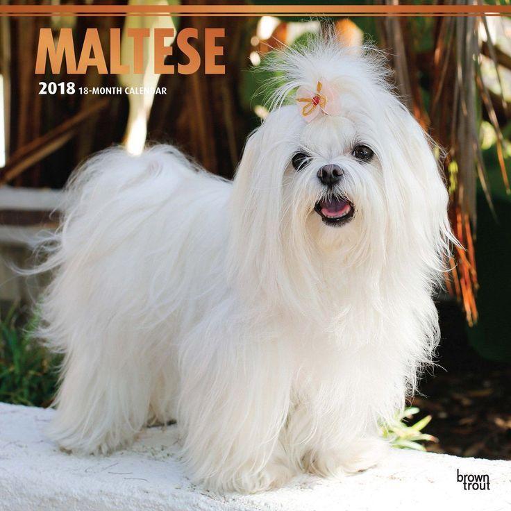 Maltese 2018 Wall Calendar Maltese Puppy Teacup Puppies Maltese