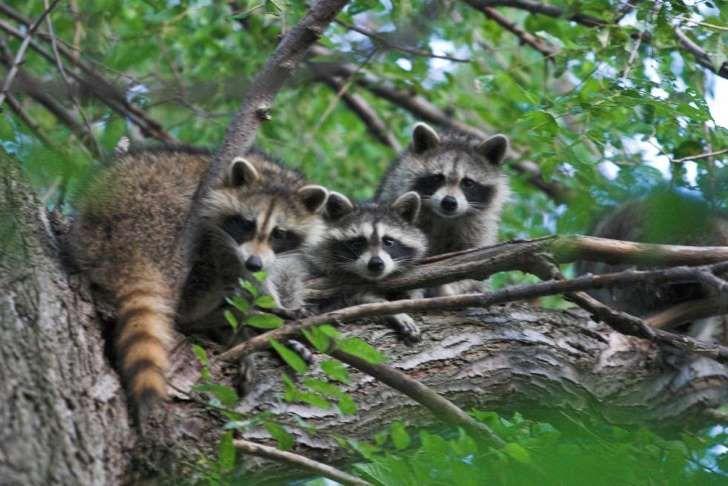 El mapache está entre los mamíferos que portan más zoonosis. GARYJWOOD/WIKIMEDIA COMMONS