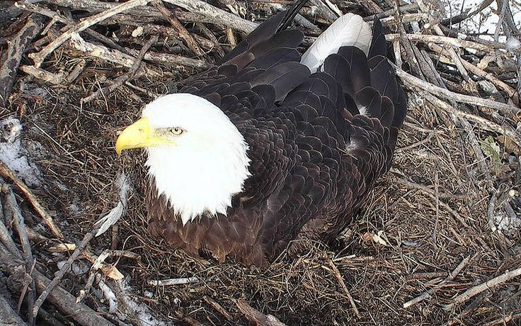 MN DNR Eagles Nest Cam Live Stream Cam from the Minnesota Wilderness. Once pushed to the brink of extinction, the Bald Eagle has made a powerful comeback since the pesticide DDT was banned in the early 1970s.