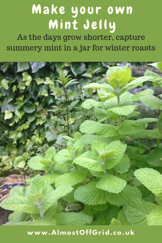 Easy Mint Jelly Recipe It S Not Green And That S Great Mint Jelly Mint Jelly Recipe Jelly Recipes