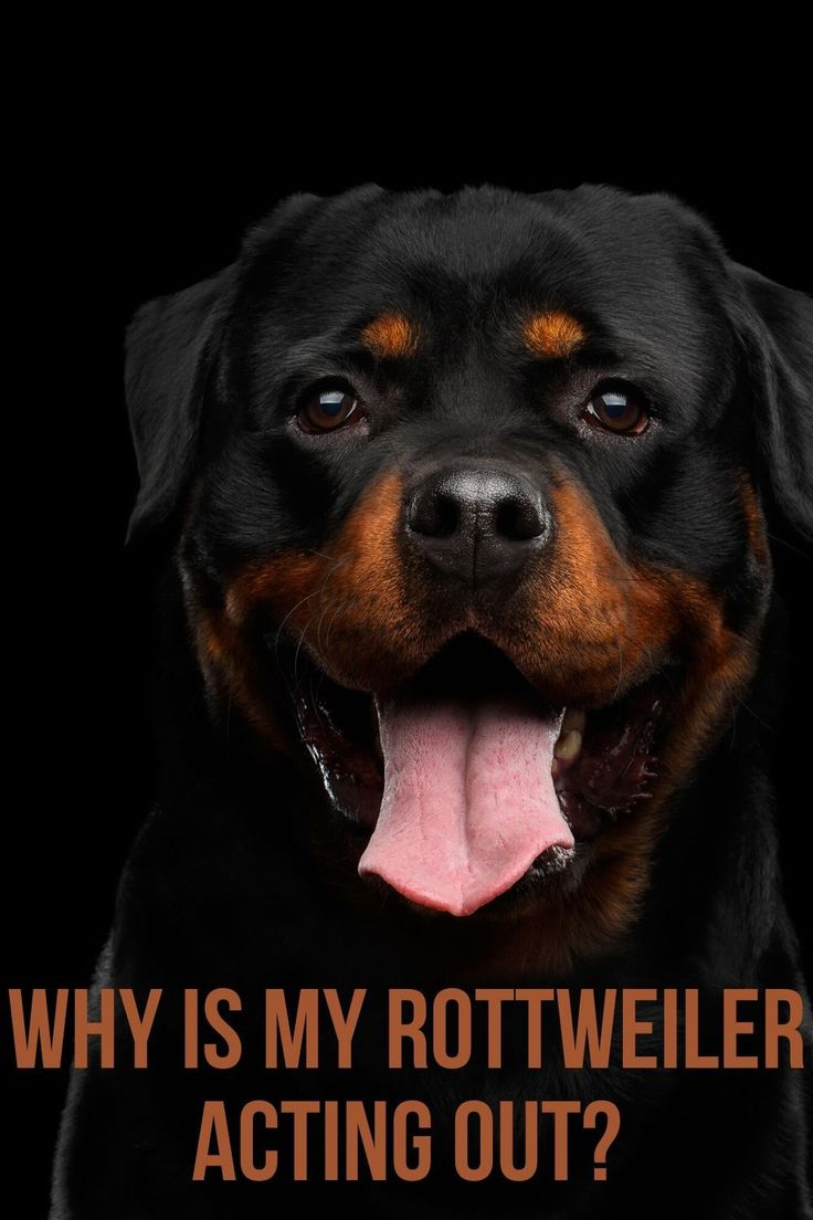 Pin On Rottweiler Tips