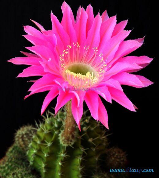 42 best echinopsis images on pinterest