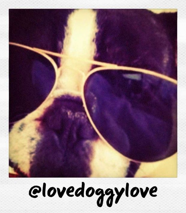 Frenchies love their aviators #frenchbulldog: French Bulldogs, Flats Faces, Frenchi Friends, Bulldogs Repin, Boston S, Faces Dogs, Frenchi Shades, Boston Bound, Boston Terriers