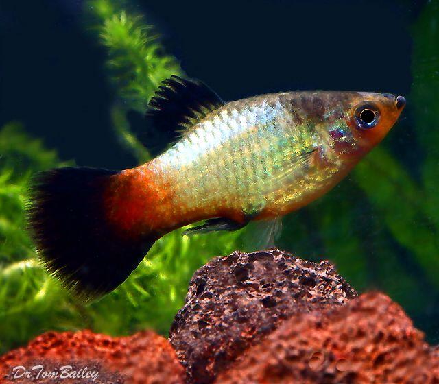 Platy, Featured item. #platy #platies #fish #petfish #aquarium #aquariums #freshwater #freshwaterfish #featureditem
