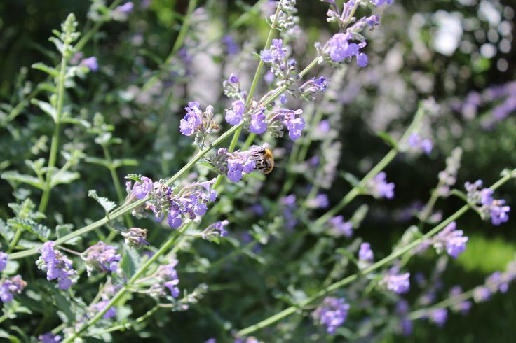 Blue nepeta and visitor