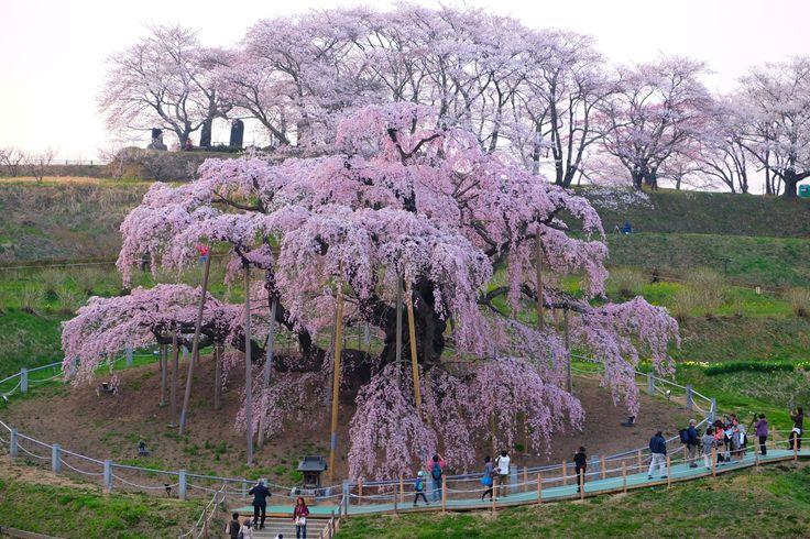 Taki-Zakura, a historical cherry tree. (Miharu, Fukushima, JAPAN/2014.04)