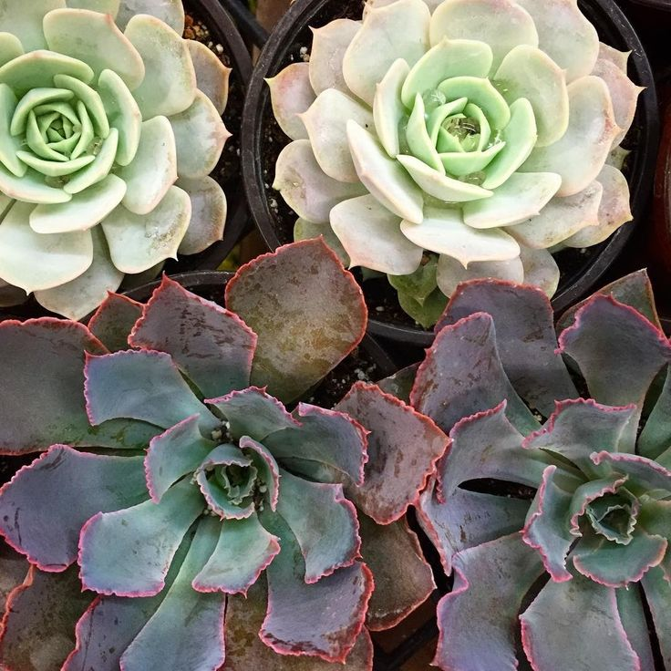 Matching succulents