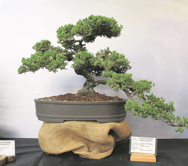 how to grow juniper bonsai from seed