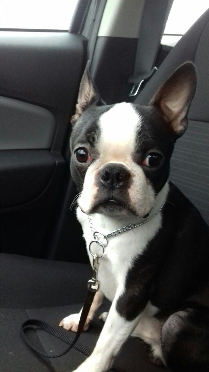 french boston terrier best 25 boston terrier boxer mix ideas on pinterest 8678