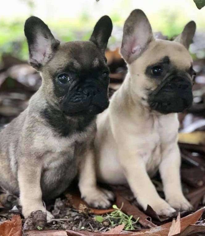 Via Craigslist Animals French Bulldog Dogs