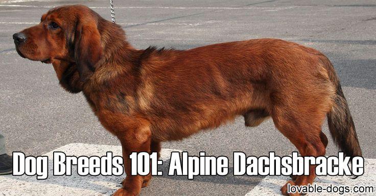 Dog Breeds 101 – Alpine Dachsbracke►►http://lovable-dogs.com/dog-breeds-101-alpine-dachsbracke/?i=p