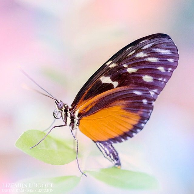 This sweet little guy was posing very patiently for me!  Butterfly in dreamy pastel tints  Copyright Lizemijn Libgott  https://instagram.com/lizemijn