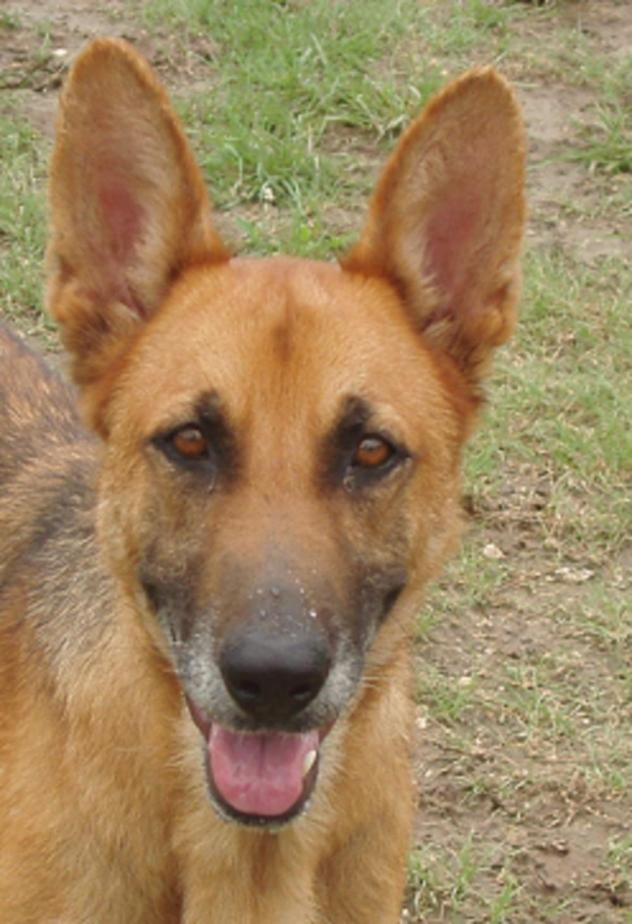 German shepherd puppy rescue miami
